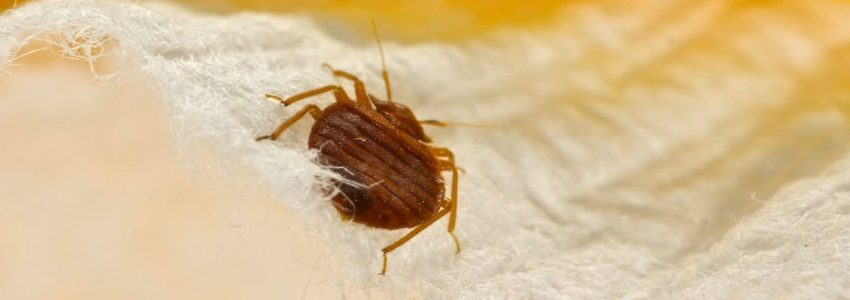 How to remove the bed bugs with an economical way?